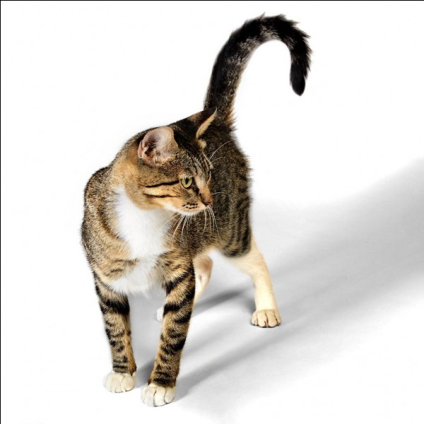 Quand le chat lève la queue, que cela signifie-t-il ?