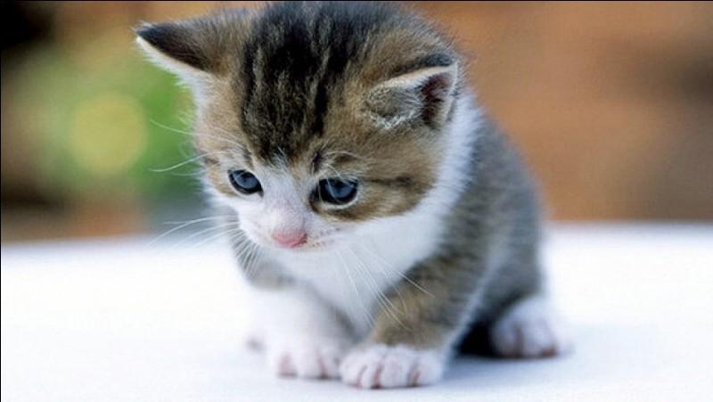 Lorsqu'il marque son territoire, un chat met :