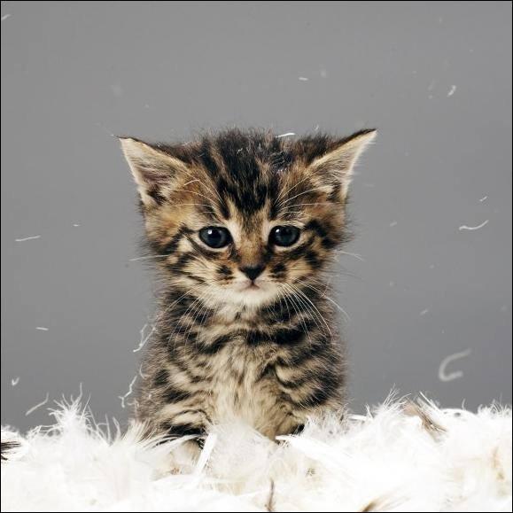 Et combien de temps dure la gestation chez la chatte ?