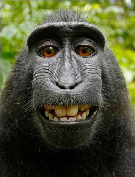 Que mangent les singes ?
