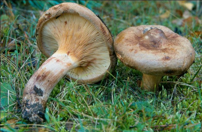 Ce champignon à lames dont la marge du chapeau est remarquablement enroulée est-il comestible ?