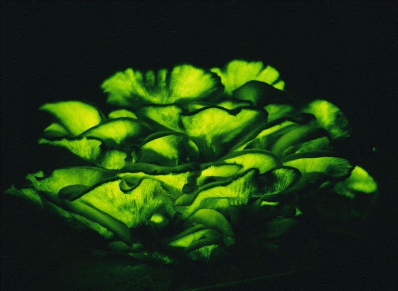 Ces lames phosphorescentes appartiennent à un champignon. Mais celui-ci est-il comestible ?