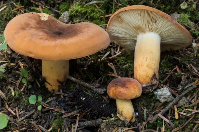 Ce champignon faisant couler du lait est-il comestible ?