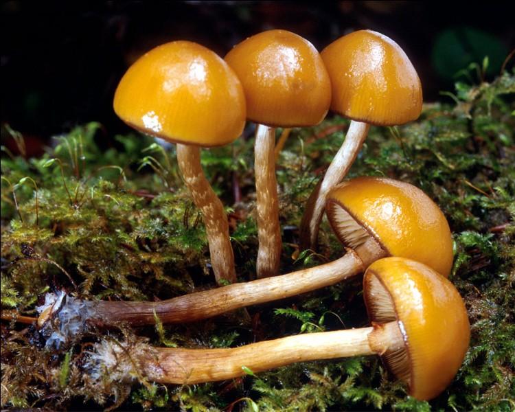 Ce champignon poussant sur du bois est-il comestible ?