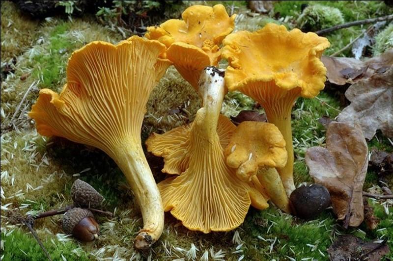 Ce champignon lui ressemblant est-il comestible ?