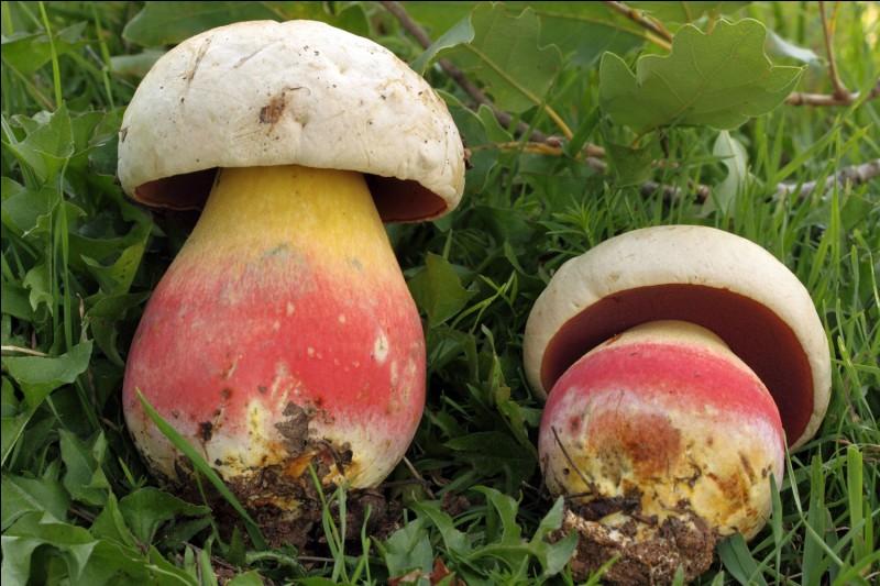 Ce champignon bleuissant à la cassure est-il comestible ?