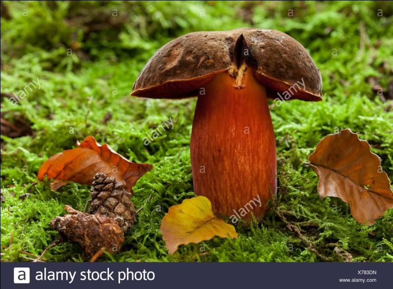 Ce champignon un peu ressemblant, qui bleuit également à la cassure, est-il comestible ?
