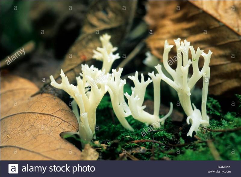 Ce champignon (même si vous l'avez remarqué au premier coup d'œil) en forme de corail est-il comestible ?
