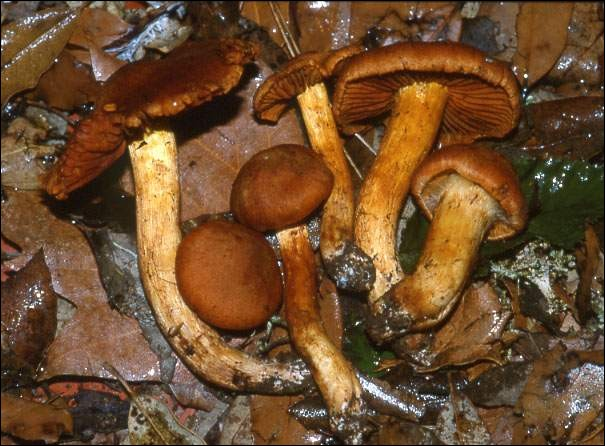 Ce champignon brun rouille et aux lames cannelle est-il comestible ?