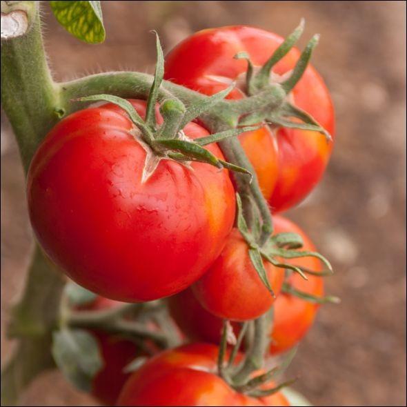 De quelle salade la tomate est-elle la reine ?