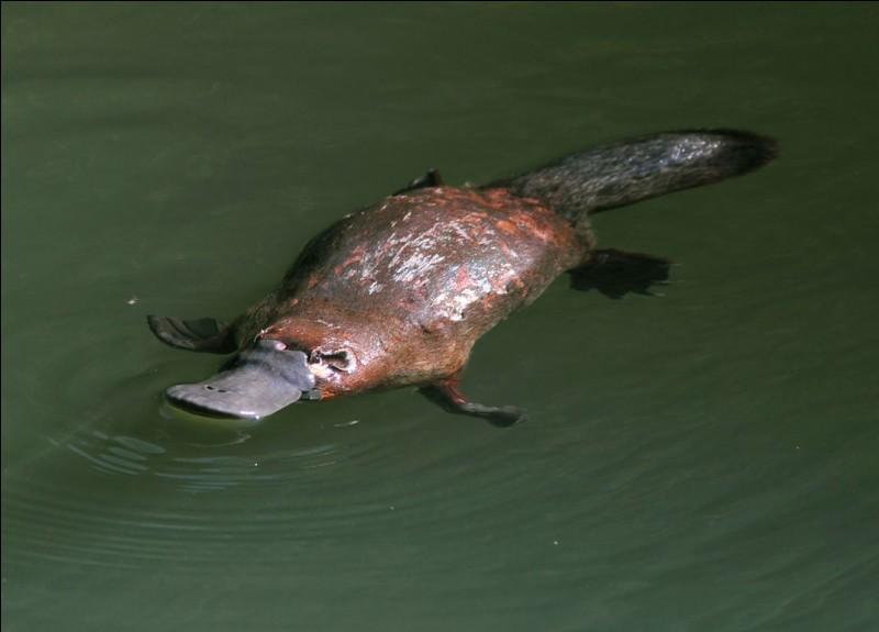 L'ornithorynque est un mammifère qui pond des œufs au lieu de donner naissance à des petits complètement formés.