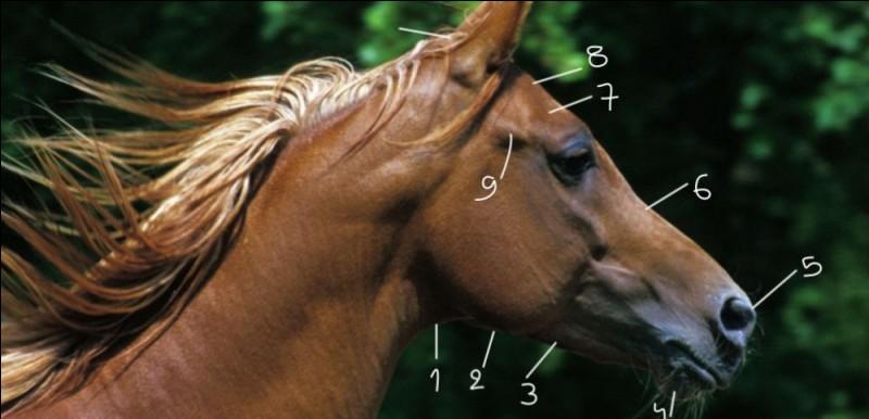 Comment se nomment ces parties de la tête du cheval ?