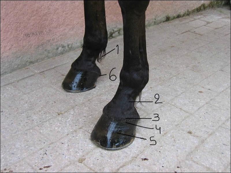 Et maintenant, révisons les parties du pied :