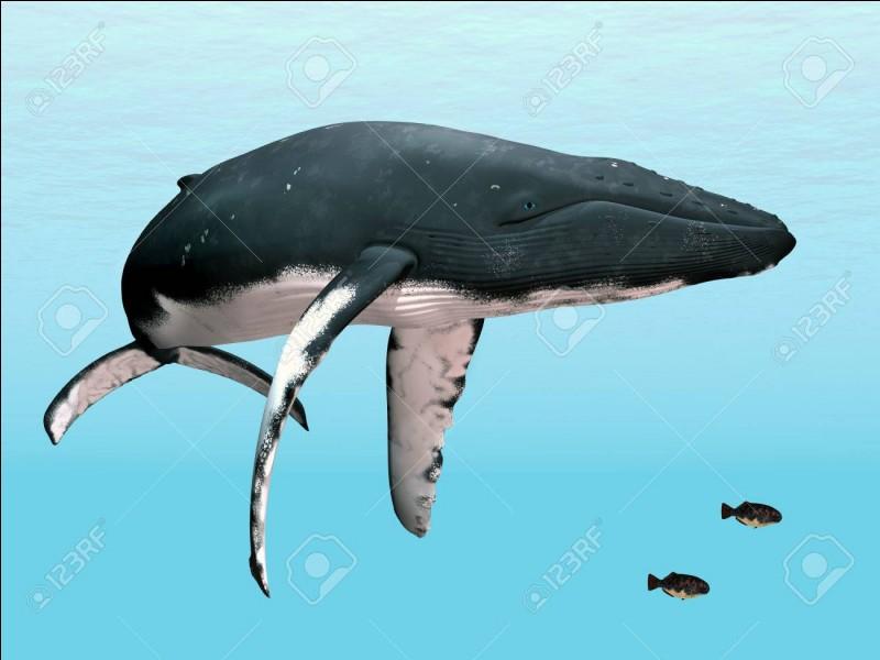 La baleine à bosse est très timide. Quand elle chante, aucun son ne sort de sa bouche.