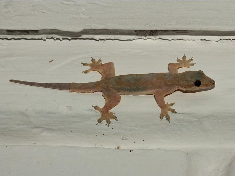 Le gecko peut marcher partout, même sur le plafond.