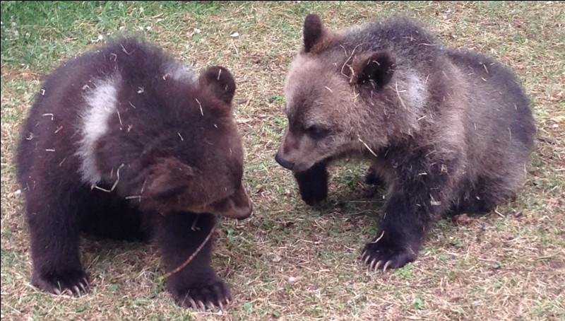 L'ours de Gobi est le seul ours à vivre dans le désert.