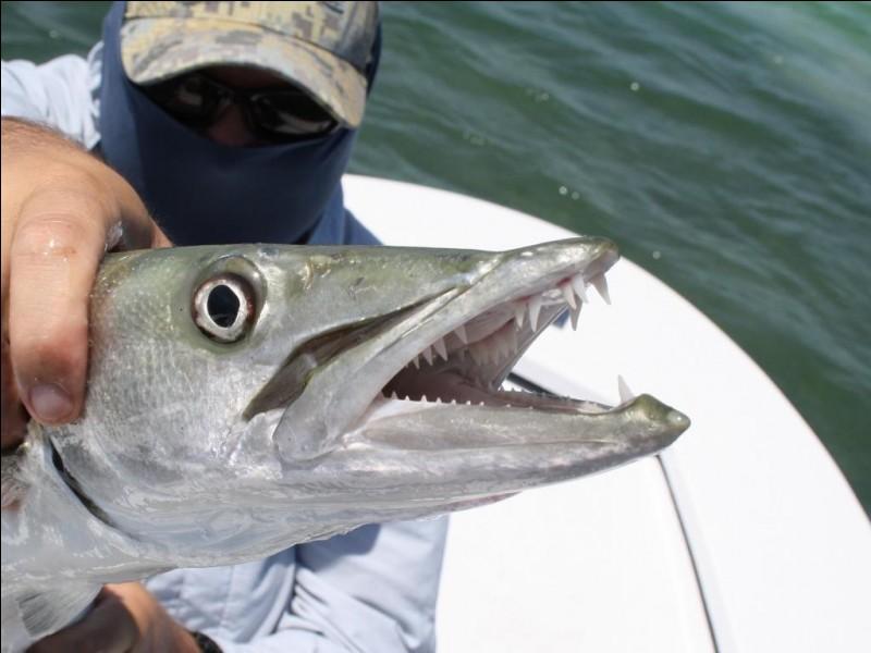 Le barracuda ne mange qu'une fois par mois.