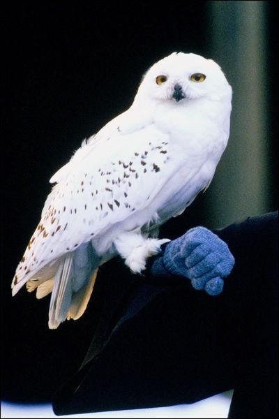 Dans quelle saga retrouve-t-on la chouette Hedwige ?