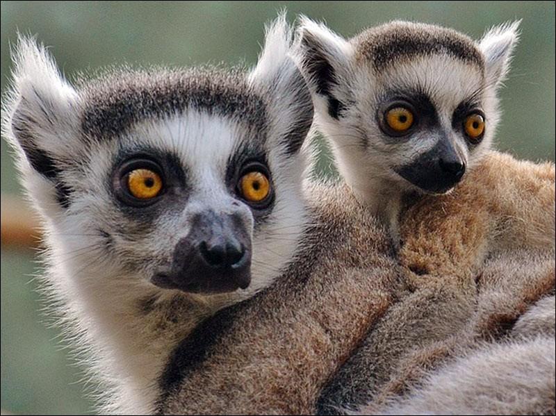 Le lémurien en est une espèce endémique.