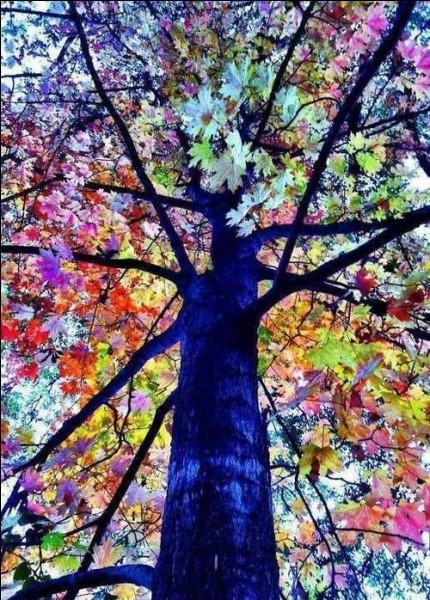 Quelle couleur prennent les feuilles en éventail du gingko biloba, quand c'est l'automne ?