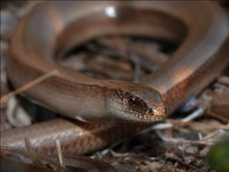 """Quel lézard apode (sans pattes) est également appelé """"serpent de verre"""" ?"""