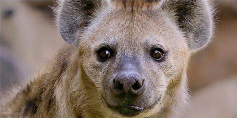 Quel mammifère charognard se caractérise par son arrière-train surbaissé ?