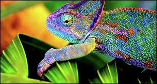 D'où proviennent les couleurs du caméléon ?