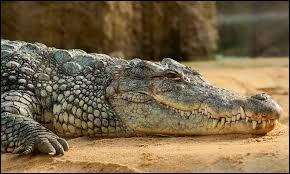 Pour quelle raison le crocodile marche-t-il difficilement ?