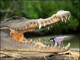 Est-ce que les dents d'un reptile repoussent ?