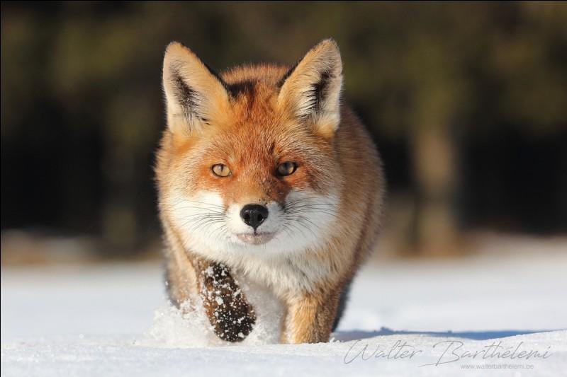 Waouh ! Il est vraiment magnifique, ... renard !