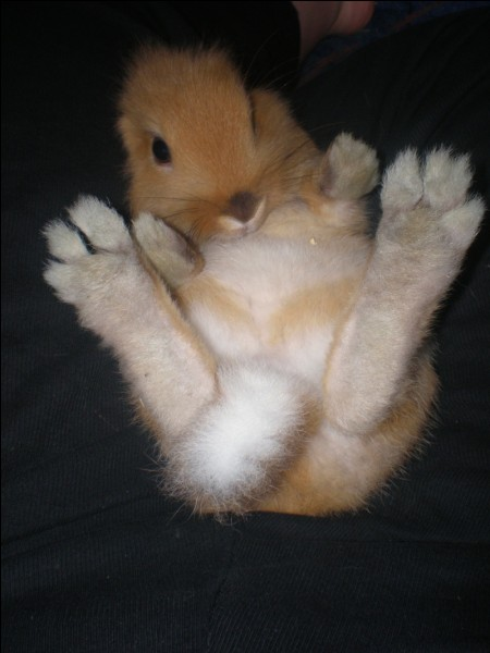 Que trouve-t-on sous les pattes des lapins ?