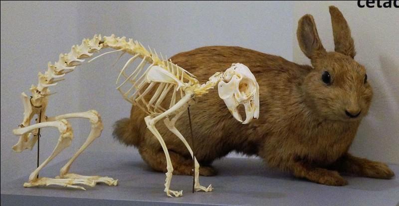 Le squelette du lapin est léger, il représente :
