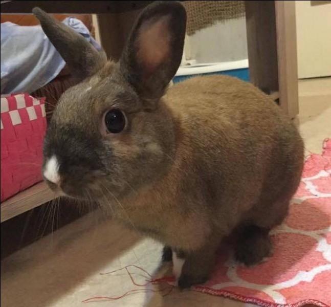 La fourrure du lapin recouvre tout le corps sauf :