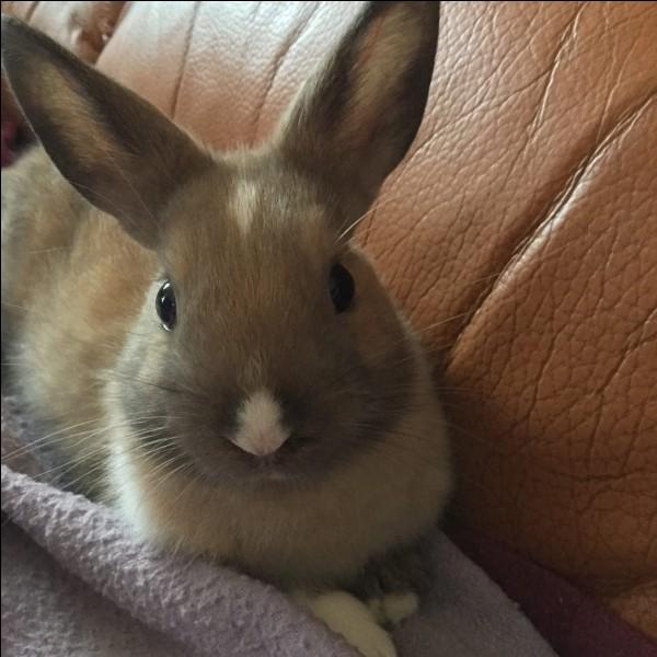 Quelle est la particularité des oreilles du lapin ?