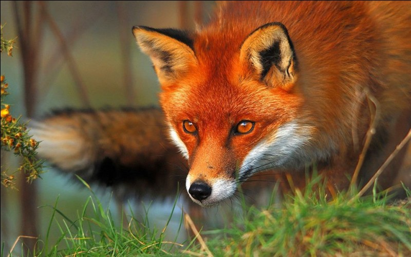 Quel est le cri du renard ?