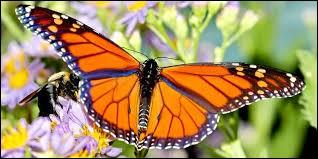 Le papillon monarque vient de ...