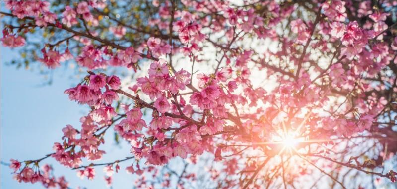 Destination 6 : le Japon. Comme c'est beau et fleuri ! Mais comment se nomme cet arbre qui fait de si belles fleurs ?