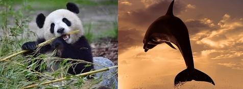 Dauphin ou panda ?