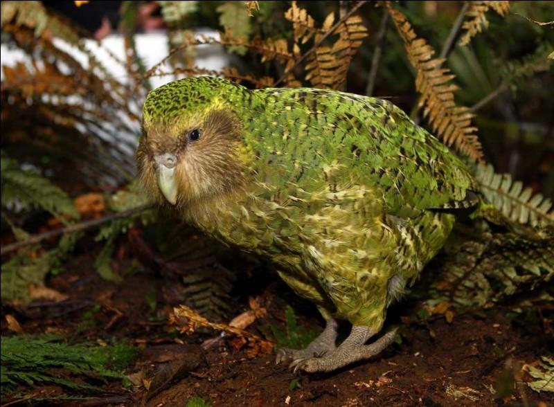 Ce grand perroquet, endémique de la Nouvelle-Zélande, est...