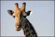 L'animal sur la photo ci-dessus ... une girafe.