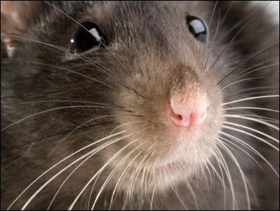 """Durant son voyage, votre ami souhaite vous laisser la garde de """"riri"""" son rat."""