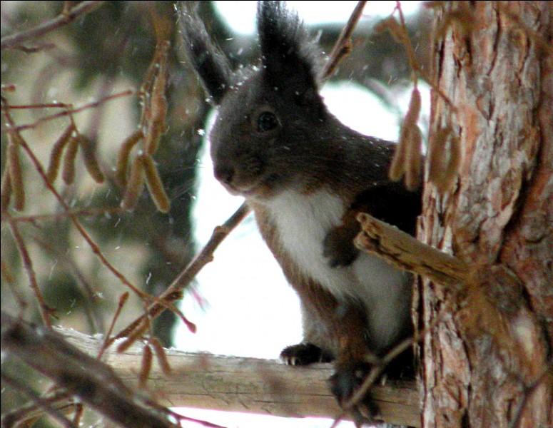 Roux-Chantilly, l'écureuil qui ... près de ... moi, a le poil roux et la queue blanche.