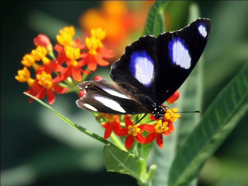 Ce papillon ... des ailes splendides !