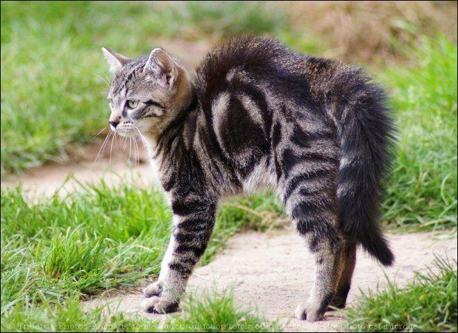 ... les chats hérissent leurs poils, ... qu'ils sont en colère.