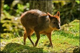 Animaux - Quel est le plus petit cervidé au monde ?