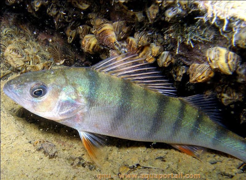 De quoi se nourrit un poisson carnassier ?