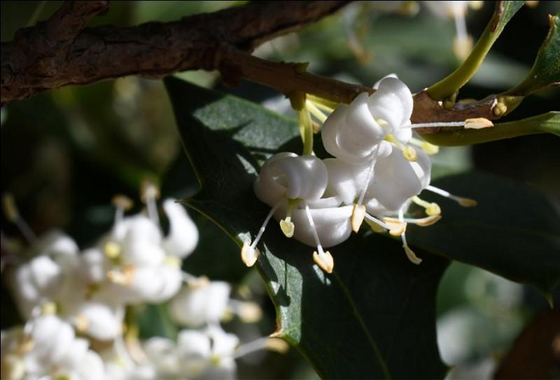 Ses fragrances font concurrence au jasmin si bien que les fleurs sont utilisées en parfumerie.