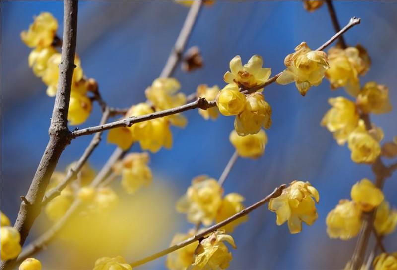 Cette plante est une chimonante, elle dégage un parfum suave : c'est bien une fleur d'hiver.