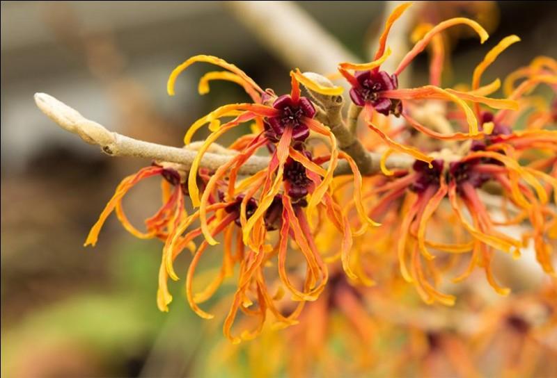 Ces fleurs échevelées et lumineuses sont celles de l'hamamélis.
