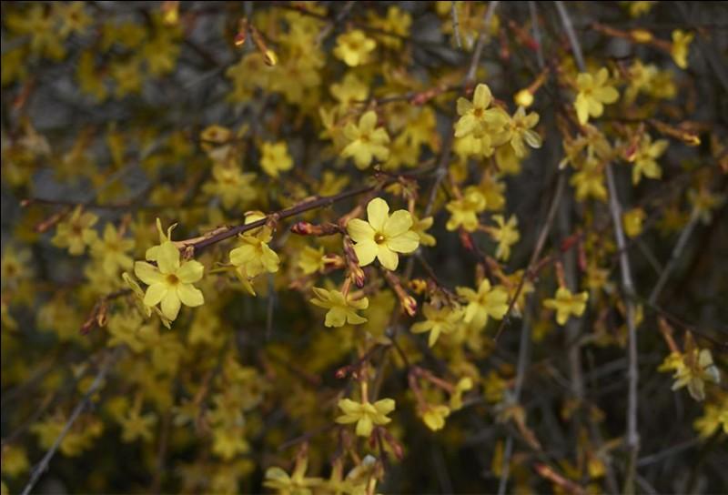 Ce sont les fleurs du jasmin d'hiver.
